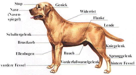 Der Körperbau des Hundes